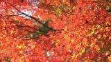 Autumn Leaves in Showa Kinen Park,Tokyo,Japan_1 ภาพวิดีโอ
