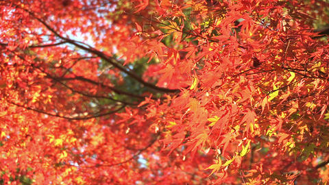 Autumn Leaves in Showa Kinen Park,Tokyo,Japan_1 Footage