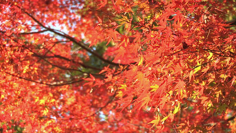 Autumn Leaves in Showa Kinen Park,Tokyo,Japan_1 Stock Video Footage