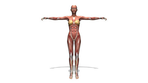人体模型 Animation