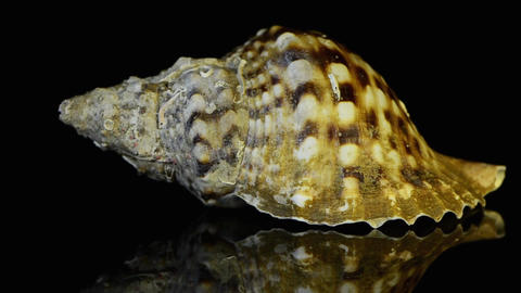 Seashell slowly revolves around its axis Stock Video Footage