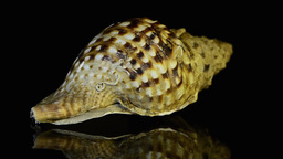 Seashell slowly revolves around its axis Stock Video Footage