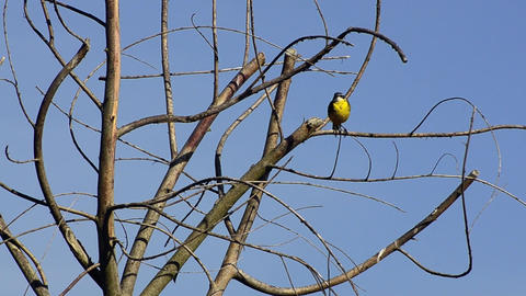 Yellow Wagtail Stock Video Footage