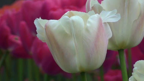 Tulipa Zantubeau Stock Video Footage
