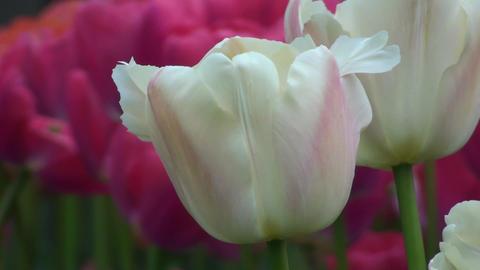 Tulipa Zantubeau Stock Video Footage