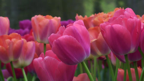 Tulipa Zantupink Stock Video Footage