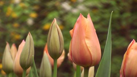 Tulipa Stunning Star Stock Video Footage