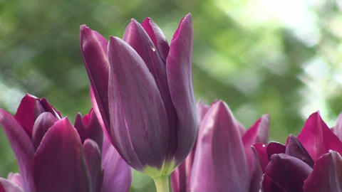 Tulipa Havran Stock Video Footage