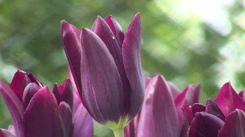 Tulipa Havran Stock Video Footage