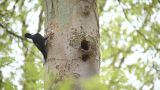 Great Black Woodpecker stock footage