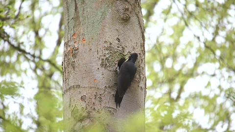 Great black woodpecker Stock Video Footage