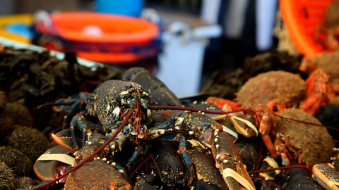Fresh Lobster Stock Video Footage