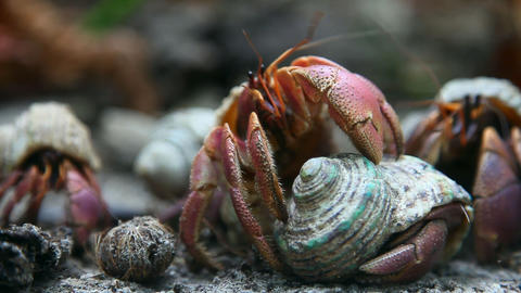 Hermit crabs Stock Video Footage