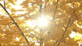 Autumn Leaves  With Sunbeams Flickering Through stock footage