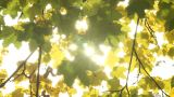 Autumn leaves with sunbeams flickering through Footage