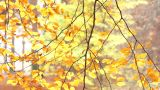 Autumn leaves on swaying branches Footage
