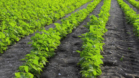 Green beans field Stock Video Footage
