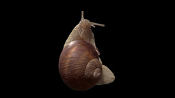 snail top isolated 01 Stock Video Footage