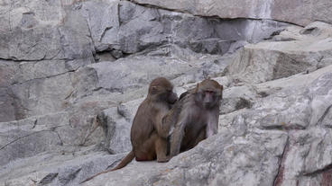 baboon inspecting others fur Footage