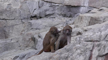 baboon inspecting others fur Stock Video Footage