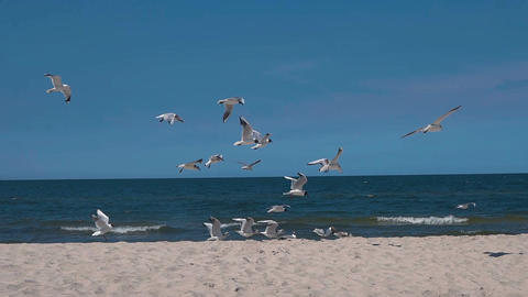 [alt video] Slow motion shot of a flock of seagulls on a sandy beach…