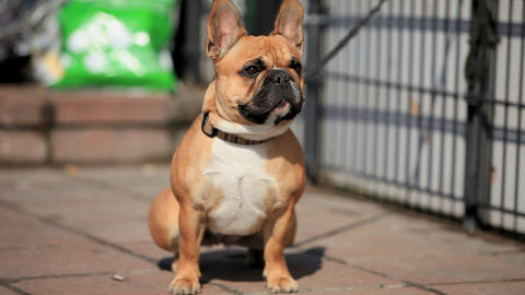 French Bulldog Stock Video Footage