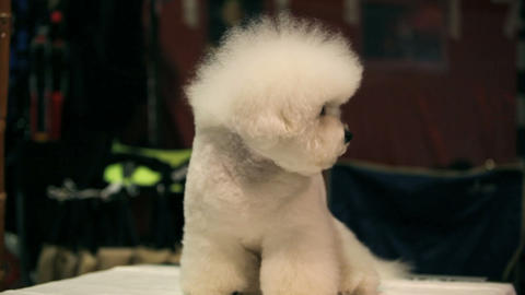 Bichon Frise Stock Video Footage
