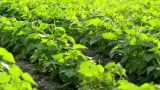 Green Beans Field stock footage
