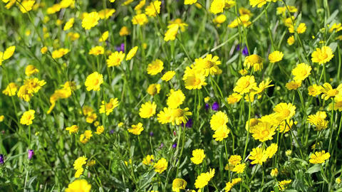 Yellow daisy flowers Stock Video Footage