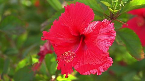 Flower of Hibiscus in Iriomote island,Okinwa,Japan_2 Stock Video Footage