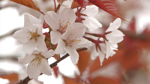 Cherry blossoms in Mt.Yoshino,Nara,Japan Stock Video Footage