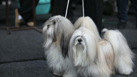 two Maltese Live Action