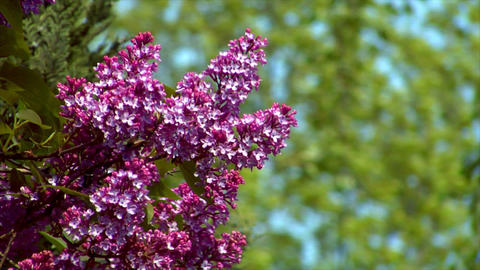 10688 pink lilac med Stock Video Footage