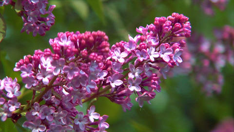 10690 pink lilac close1 Stock Video Footage