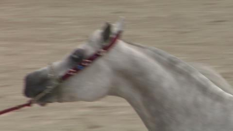 arab horse close up 02 Stock Video Footage