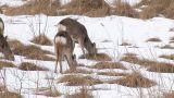 Hokkaido Sika Deers in Kushiro Wetlands,Hokkaido,Japan_1 Footage