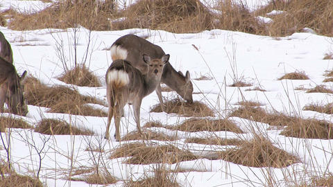 Hokkaido Sika Deers in Kushiro Wetlands,Hokkaido,Japan_1 Stock Video Footage