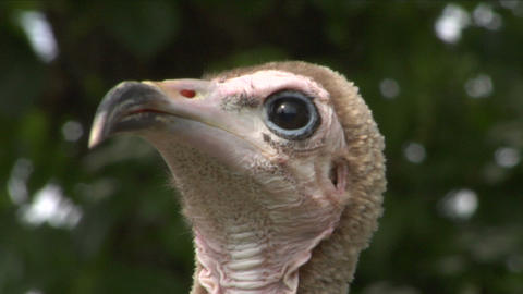 hooded vulture close up 01 Stock Video Footage