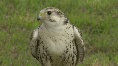 saker falcon close up 02 Stock Video Footage