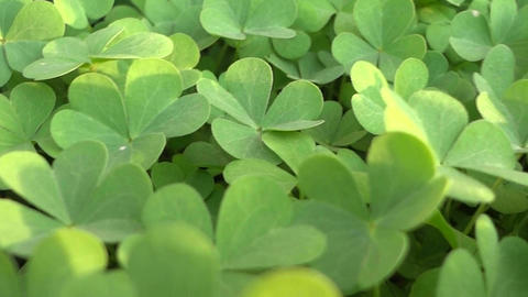 Clover 1 Stock Video Footage
