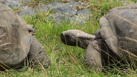 Galapagos Giant Tortoise Couple Live Action