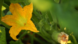 Courgette Flower Footage