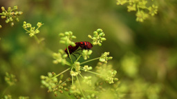 Red Beetles Bugs Coleoptera Mating On Dill Flower, Pan Footage