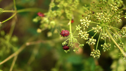 Red Beetles Bugs Coleoptera On Dill Flower Footage