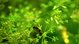 Red Beetles Bugs Coleoptera Mating On Dill Flower Footage