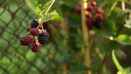 A Shrub With A Bunch Of Blackberry(Rubus Genus), Pan Footage