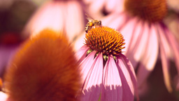 Honey-bee Feeds On Nectar Purple Coneflower (Echinacea Purpurea) Footage