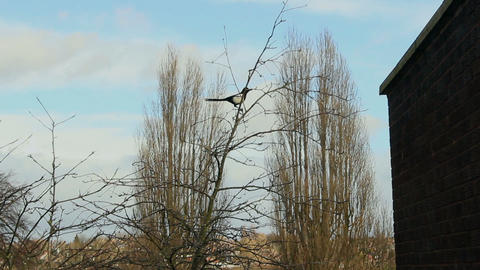 Magpie sitting on top of a tree and flying away Footage