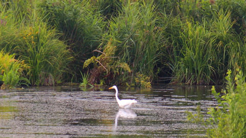 Stork In The Swamp stock footage