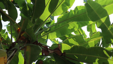 Swaying green banana leaves in the wind Footage